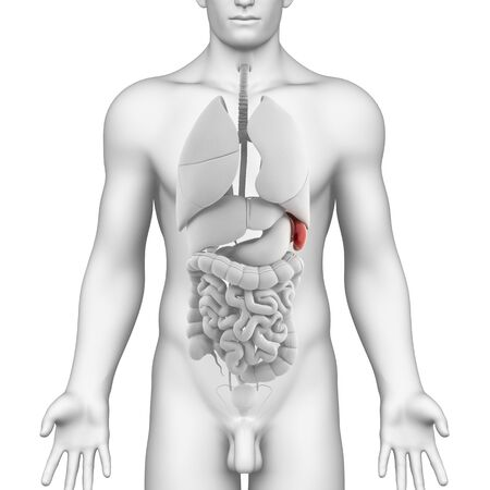 Male spleen and abdominal organs Stock Photo - 14671645
