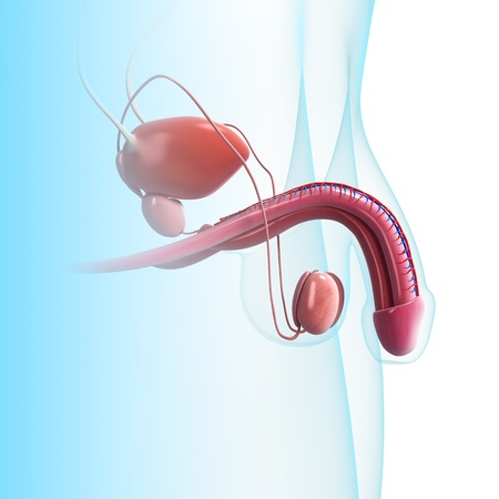 ejaculate: 3D art illustration of urinary system in blue background
