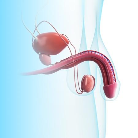 aparato reproductor: Ilustraci�n de arte en 3D del sistema urinario en el fondo azul