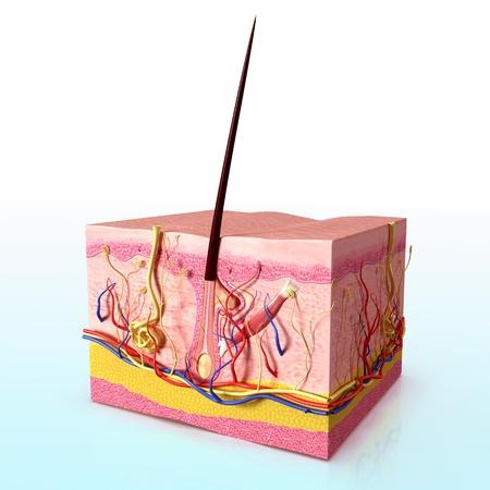 calvicie: Vista lateral de los folículos pilosos en el fondo blanco