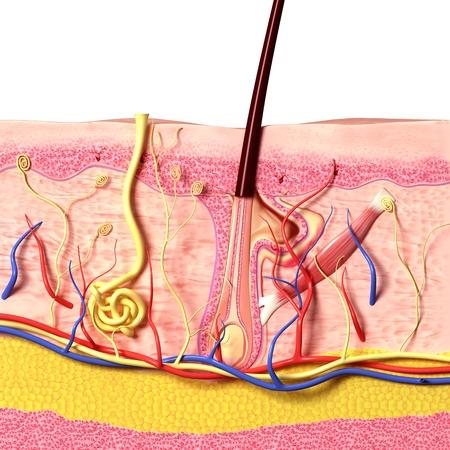 epiderme: vue de face des follicules pileux