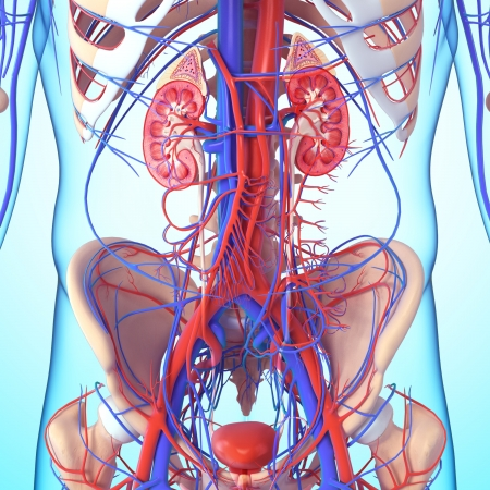 suprarrenales: esqueleto y los riñones con la vejiga Foto de archivo