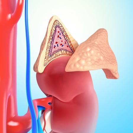 epiderme: La structure interne de la glande surr�nale Banque d'images