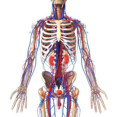 human touch:  anatomy of urinary system with veins and skeleton