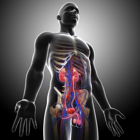uretra: vista lateral del sistema urinario gris