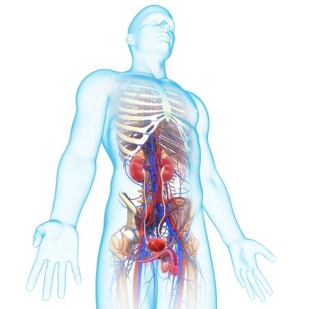 organos internos: la vista lateral del sistema urinario humano Foto de archivo