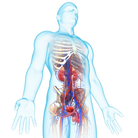 transparent male anatomy: side view of human urinary system Stock Photo