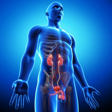 uretra: la vista lateral del sistema urinario humano en azul