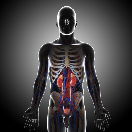 human urinary system in gray x-ray Stock Photo - 14671395