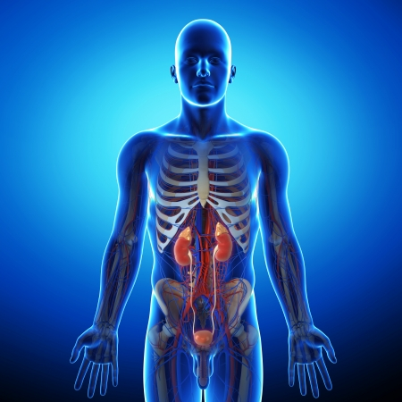 skeleton x ray: human urinary system in blue x-ray Stock Photo