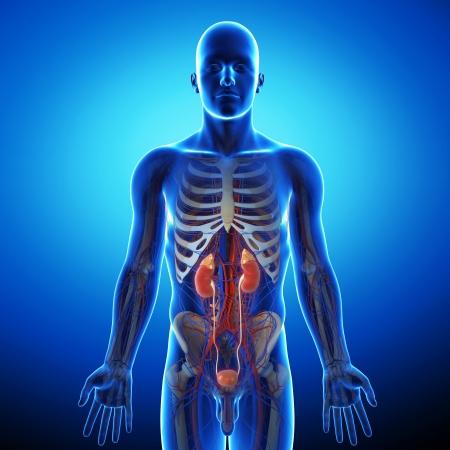 suprarrenales: sistema humano orina de color azul de rayos X