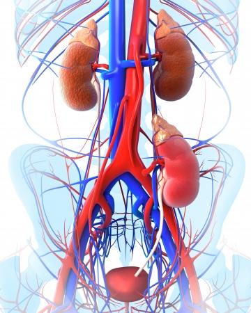 donacion de organos: trasplante de ri��n transparente