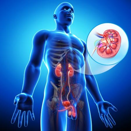 transplantation: Ansicht der Nierentransplantation Lizenzfreie Bilder