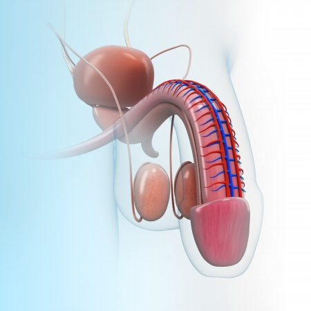 penis: urinary system Stock Photo
