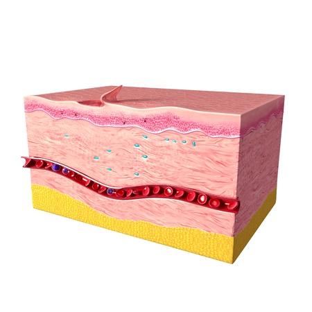 cross hair: side of last step of tissue repair of human skin