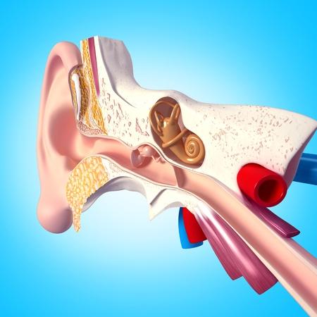 vestibule: Ear with isolated on blue background Stock Photo