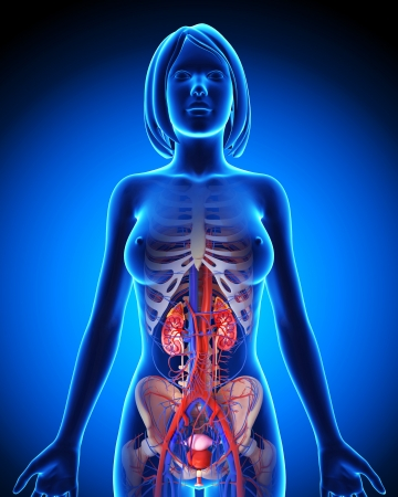 internal organ: Urinary system in blue form of female Stock Photo