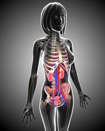 Female Urinary system in gray