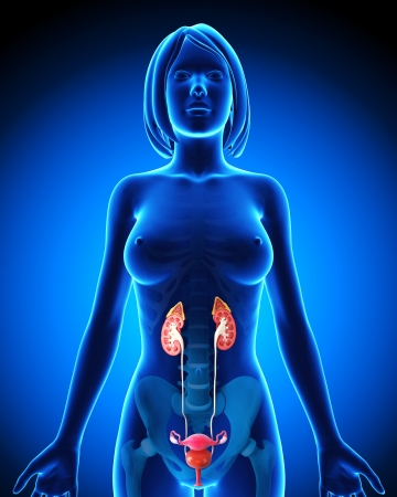 Urinary system in blue form of female Stock Photo - 14649008