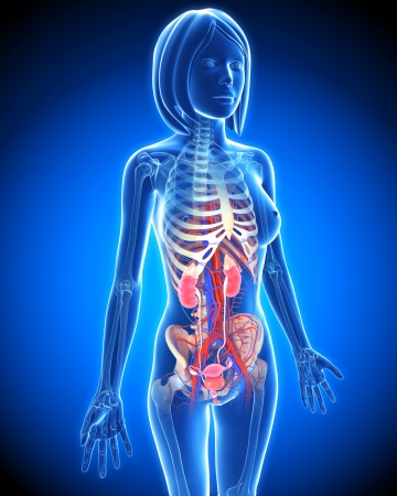 x ray image: Female Urinary system in blue x-ray form in blue