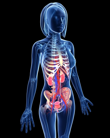 internal: Female Urinary system in blue x-ray form