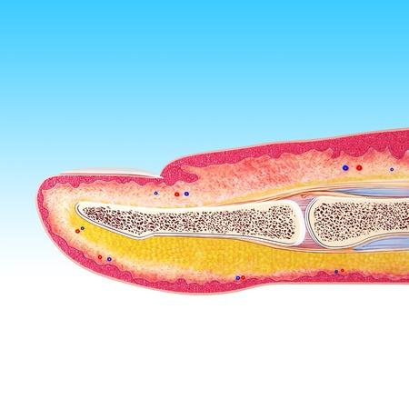 dermatologo: Anatomia di dito Archivio Fotografico