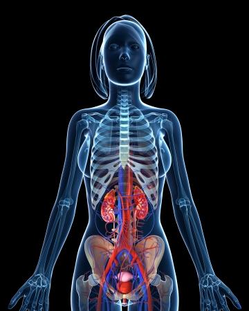 stratum:  Anatomy of female urinary system in black background
