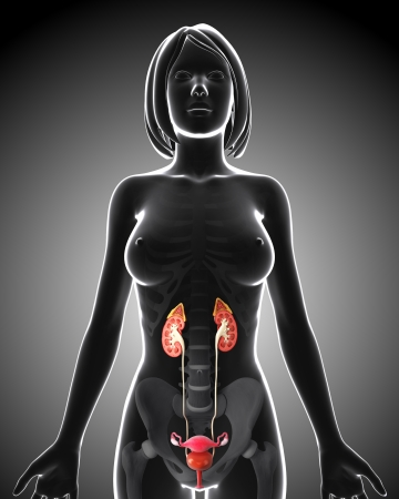 Female Urinary system in gray x-ray form Stock Photo - 14649006