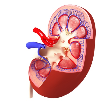Anatomy of side view of kidney internal view in different form Stock Photo - 14630955