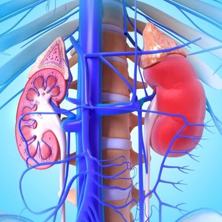 suprarrenales: 3d anatomía del riñón Foto de archivo