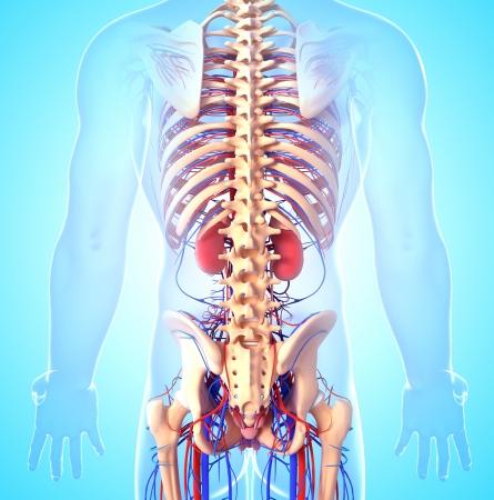 suprarrenales: Volver la vista lateral del esqueleto masculino con los riñones Foto de archivo