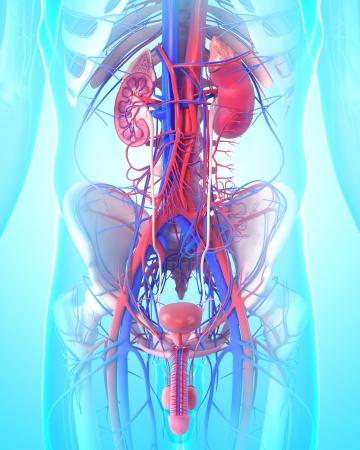 내부의: 비뇨기와 남성의 신장의 내부 구조