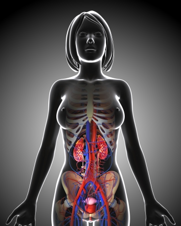 subcutaneous:  female urinary system Stock Photo
