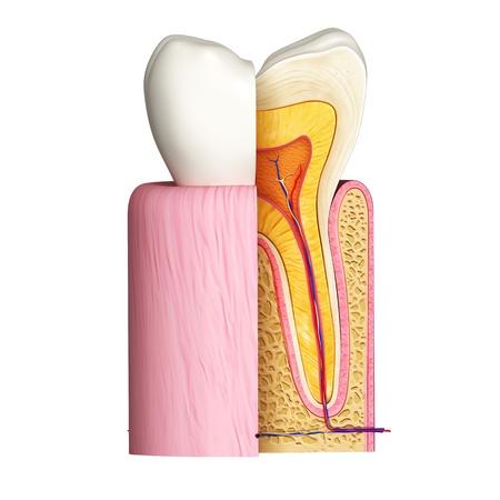 3D Darstellung Der Frontansicht Der Zähne Anatomie In Blau ...
