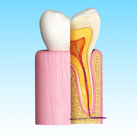 dental pulp: 3D Illustration of Side view of teeth anatomy in blue Stock Photo