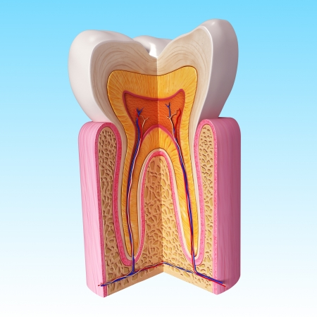 3D Illustration of Front view of teeth anatomy in blue illustration