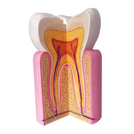 dientes sanos: Ilustraci�n 3D de la anatom�a de los dientes