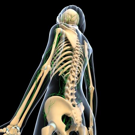 3d art illustration of  lymphatic system of female back, side view in black background illustration