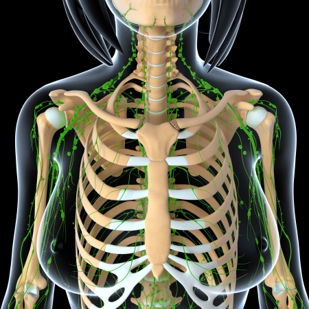 3d art illustration of  lymphatic system of female front view with skeleton illustration