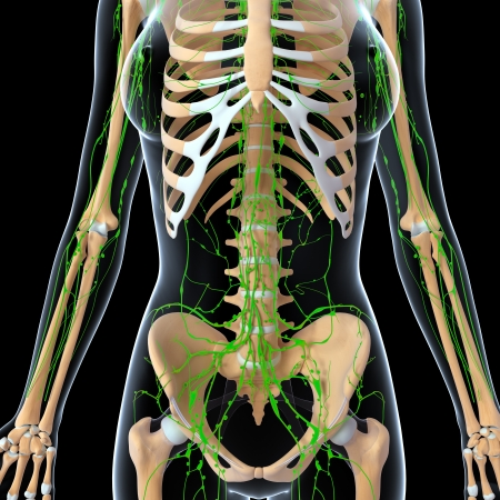 3d art illustration of  lymphatic system of female half body with skeleton illustration