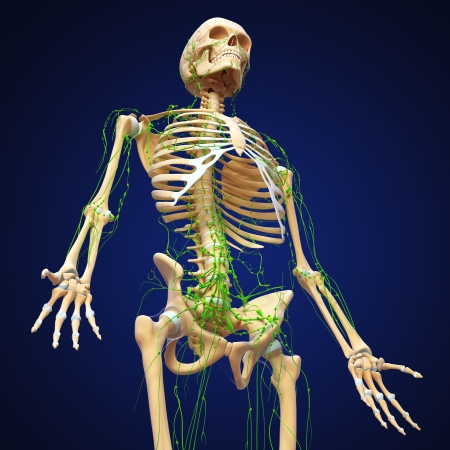 lymphatic: 3d art illustration of  lymphatic system of male skeleton isolated on blue