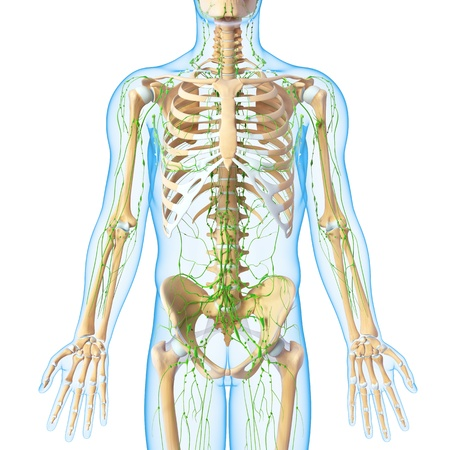 3d art illustration of  lymphatic system of male isolated on white background Stock Illustration - 14772065