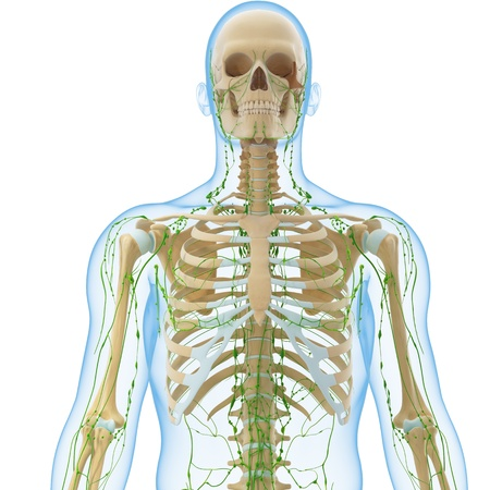 3d art illustration of  lymphatic system of male isolated on white Stock Illustration - 14772048