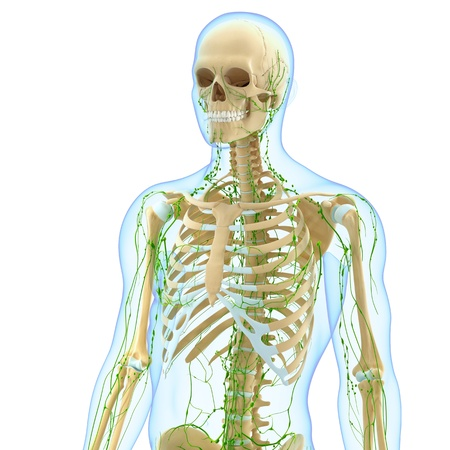 3d art illustration of  lymphatic system of male in blue skeleton illustration