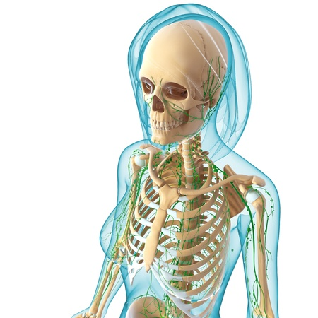 3d art illustration of  lymphatic system of female side view in white background illustration
