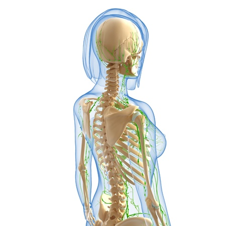 3d art illustration of  lymphatic system of female side view body in blue illustration