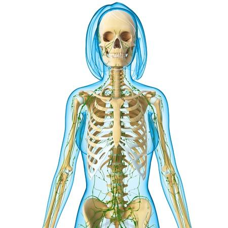 3d art: Ilustraci�n del arte 3d del sistema linf�tico del cuerpo femenino