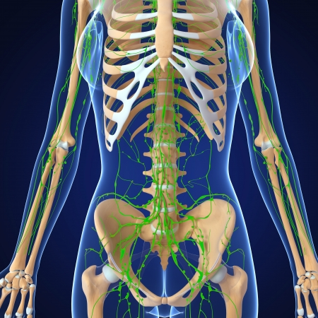 3d art illustration of  lymphatic system of female half body skeleton illustration