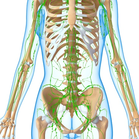 3d art illustration of  lymphatic system of female half body illustration