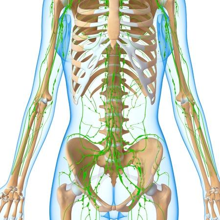 3d art illustration of  lymphatic system of female half body Stock Illustration - 14772115